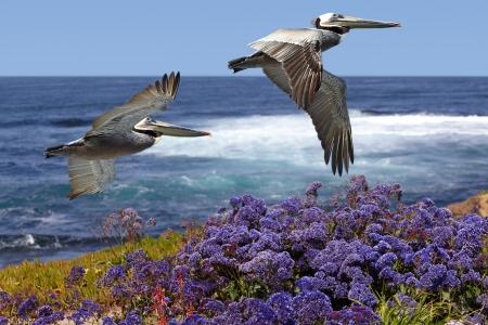 Foto de Two California Brown Pelicans In Flight Soaring Over Pacific Coast Sea Waves ~ Pelecanus occidentalis ~ Ocean Surf With Spring Sea Lavender, Purple Statice, Sea foam or Marsh-Rosemary Flowers ~ Limonium californicum - Imagen libre de derechos