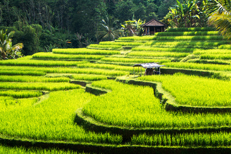 Photo for Rice terraces of Bali Island,Jatiluwih, near Ubud,  Indonesia  Asia - Royalty Free Image