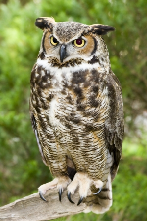 Photo for Great Horned Owl - Royalty Free Image