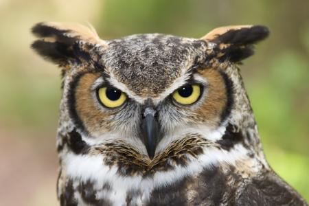Photo for Great Horned Owl Headshot - Royalty Free Image