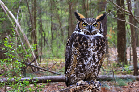 Photo for Great Horned Owl Standing on a Tree Log - Royalty Free Image