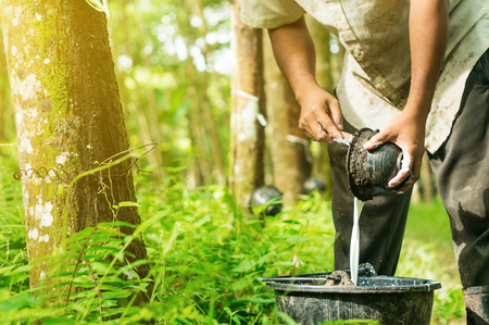 Photo pour Rubber planters are harvested in the rubber tree garden, Southern Thailand - image libre de droit