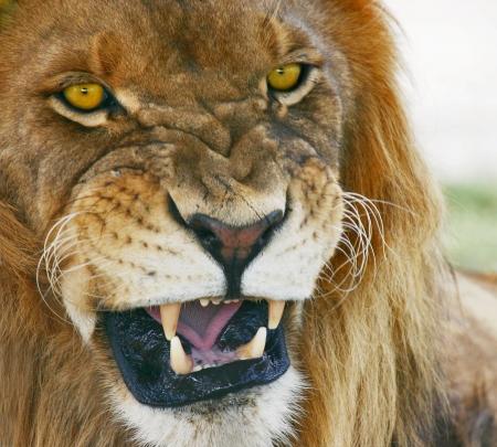Jungle mouth. African Lion, Panthera Leo.