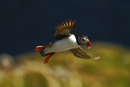 Foto de Atlantic puffin with small fish in its beak flying against dark blue sea and cliffs. Close up photo. Wild bird with colourful beak and outstretched wings, sandeels, Norway - Imagen libre de derechos