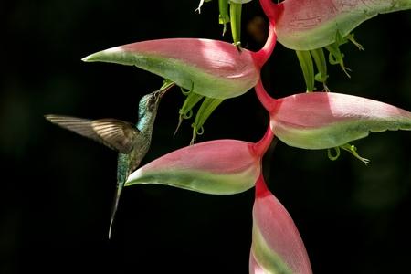 Foto de Green hermit (Phaethornis guy) hovering next to big red flower, bird in flight, caribean tropical forest, Trinidad and Tobago, natural habitat, beautiful hummingbird sucking nectar,black background - Imagen libre de derechos