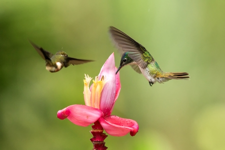 Foto de Two hummingbirds hovering next to pink flower,tropical forest, Colombia, bird sucking nectar from blossom in garden,beautiful hummingbird with outstretched wings,nature wildlife scene, exotic trip - Imagen libre de derechos