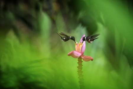 Foto de Two hummingbirds hovering next to orange flower,tropical forest, Ecuador, two birds sucking nectar from blossom in garden,beautiful hummingbird with outstretched wings,nature wildlife scene, exotic - Imagen libre de derechos