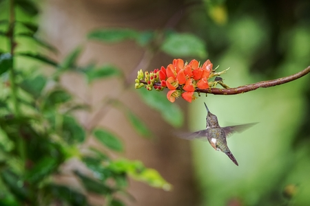 Foto de Purple-throated woodstar hovering next to orange flower,tropical forest, Peru, bird sucking nectar from blossom in garden,beautiful hummingbird with outstretched wings,nature wildlife scene - Imagen libre de derechos