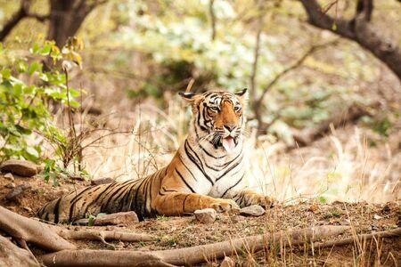Photo pour Wild Bengal Tiger (Panthera Tigris Tigris) having rest during hot day in its natural habitat.Ranthambore National Park, Rajasthan, India, endangered species, big beautiful cat - image libre de droit