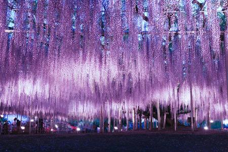 Photo for Beautiful wisteria illumination in Ashikaga Flower Park, Tochigi prefecture, Japan - Royalty Free Image