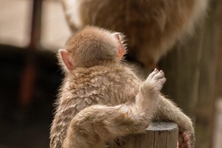 Foto de The Jigokudani Monkey Park is a great Place to see Monkeys in Japan - Imagen libre de derechos