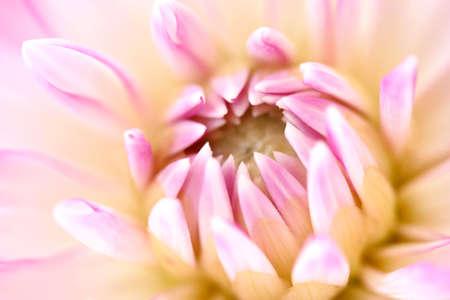 Photo for White Dahlia - Royalty Free Image