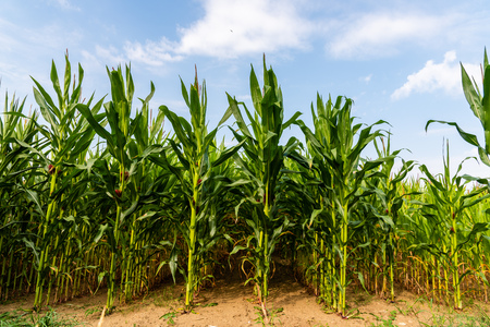 Foto de Close up of corn field in the countryside - Imagen libre de derechos