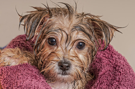 Photo pour Morkie Puppy Getting Dry After His Bath - image libre de droit