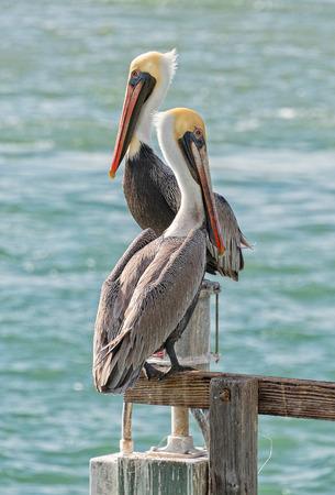 Foto de 2 Pelicans Taking In The Sun At Sebastian Inlet In Florida - Imagen libre de derechos