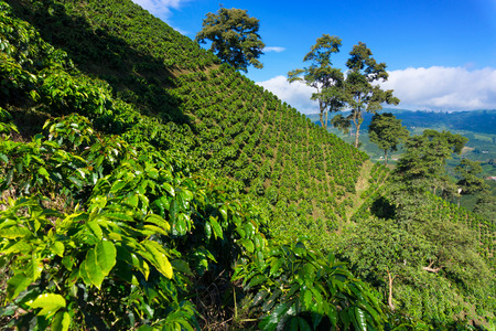 Foto de Coffee plant covered hills rising above a valley near Manizales, Colombia - Imagen libre de derechos