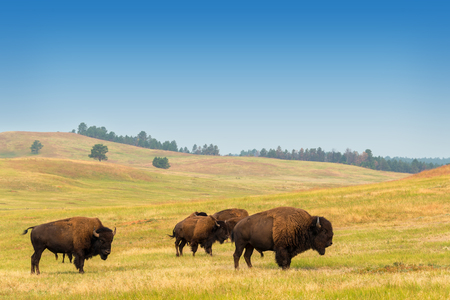 Photo pour View of bison in Custer State Park in the Black Hills in South Dakota - image libre de droit