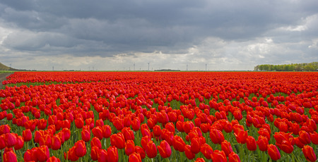 Foto de Deteriorating weather over tulips in spring - Imagen libre de derechos
