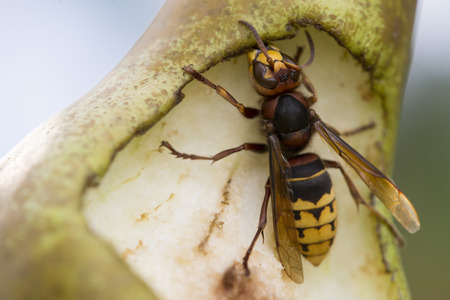 Photo pour Close-up detail of hornet Eating Pear in summer garden - image libre de droit