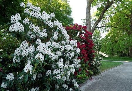 Photo pour A bush with white rhododendron flowers - image libre de droit