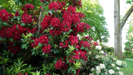 Photo pour Red Rhododendron bush in bloom - image libre de droit