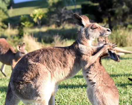 Foto de Kangaroo giving joey a hug - Imagen libre de derechos