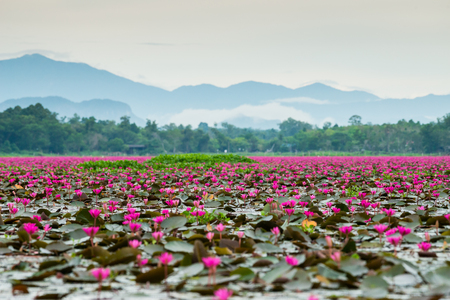 Photo pour Pink lotus in wetlands Thale Noi, one of the country's largest wetlands covering Phatthalung, Nakhon Si Thammarat and Songkhla ,South of THAILAND. - image libre de droit