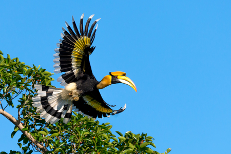 Photo pour Flying great hornbill at Khao Yai national park, THAILAND - image libre de droit