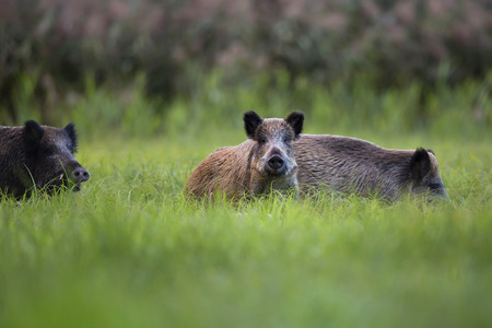 Photo pour Boars in the wild, in a clearing  - image libre de droit