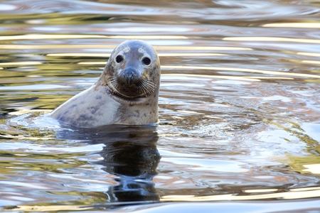 Photo for Seal in the wild - Royalty Free Image