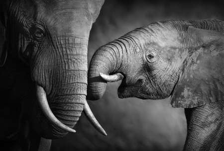 Elephants showing affection  Artistic processing
