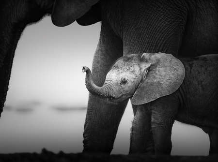 Baby Elephant next to Cow  Artistic processing  Addo National Park
