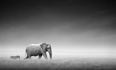 Elephant with zebra behind on open plains of Etosha  Artistic processing