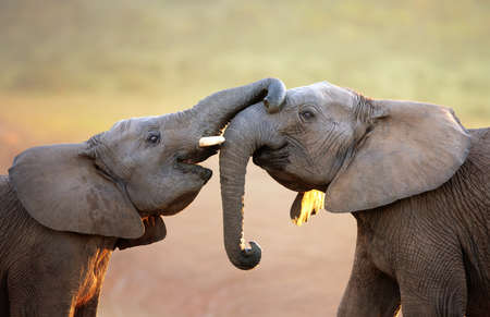 Foto de Elephants touching each other gently  greeting  - Addo Elephant National Park - Imagen libre de derechos