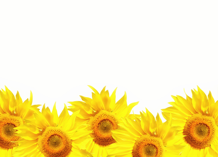 Photo for Isolated bright yellow sunflowers with a white background with copyspace area for text  for floral botany summer based designs and ideas - Royalty Free Image