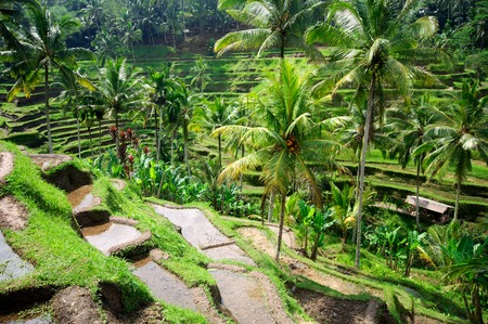 Photo for Beautiful green terrace paddy fields on Bali, Indonesia - Royalty Free Image