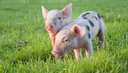 Young cute pink pigs in green grass
