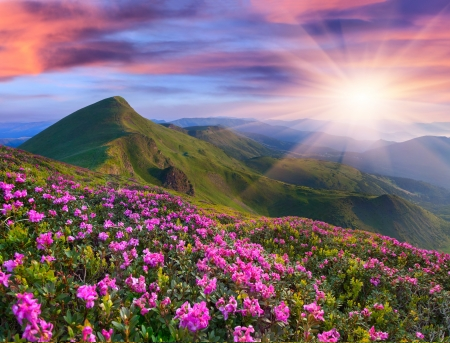 Photo pour Magic pink rhododendron flowers in the mountains. Summer sunrise - image libre de droit