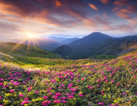 Photo pour Magic pink rhododendron flowers in the mountains. Summer sunrise - image libre de droit