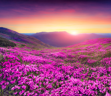 Foto de Magic pink rhododendron flowers in the mountains. Summer sunrise - Imagen libre de derechos