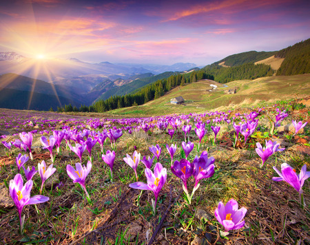 Blossom of crocuses at spring in the mountains. Colorful sunset.