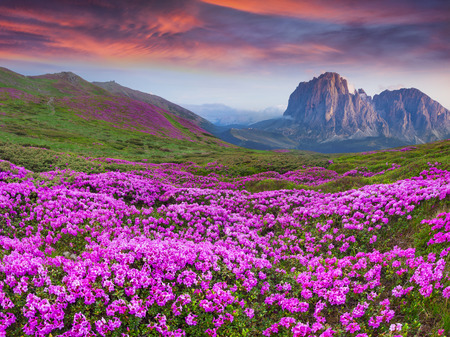 Photo pour Colorful summer sunrise in the  mountains. Fields of blossom rhododendrons in the morning mist. - image libre de droit