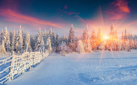 Foto de Colorful winter panorama in the Carpathian mountains. Fir trees covered fresh snow at frosty morning glowing first sunlight. - Imagen libre de derechos