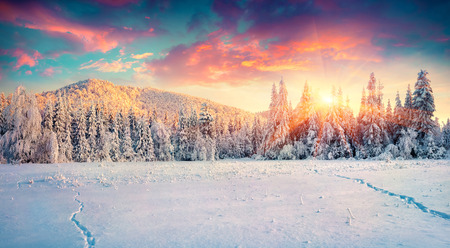 Photo for Colorful winter panorama in the Carpathian mountains. Fir trees covered fresh snow at frosty morning glowing first sunlight. Instagram toning. - Royalty Free Image
