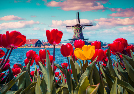Foto de Blossom tulips in the Dutch village with famous windmills. Spring sunny morning on the Netherlands canals. Instagram toning. - Imagen libre de derechos