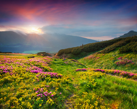 Photo pour Natural summer scene in Carpathian mountains. Fresh grass and rhododendron flowers glowing last sunlight in evening. Ukraine, Europe. - image libre de droit