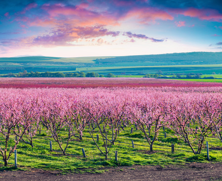 Photo for Flowering peach orchards near Istanbul. Beautiful outdoor scenery in Turkey, Europe. Colorful sunrise in the peach garden in April. Artistic style post processed photo. - Royalty Free Image