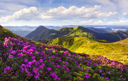 Photo pour Colorful summer morning with fields of blooming rhododendron flowers. Splendid outdoors scene in the Carpathian mountains in June, Ukraine, Europe. Beauty of nature concept background. - image libre de droit