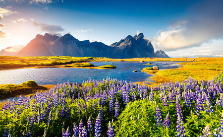 Foto de Blooming lupine flowers on the Stokksnes headland. Colorful summer view of the southeastern Icelandic coast with Vestrahorn (Batman Mountain). Iceland, Europe. Artistic style post processed. - Imagen libre de derechos