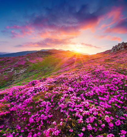 Photo pour Dramatic summer sunrise in the Carpathian mountains. Great morning view of the fields of blooming rhododendron flowers in the mountain valley. Beauty of nature concept background. - image libre de droit